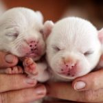True Cream French Bulldog puppies born and bred by registered breeder in QLD Australia