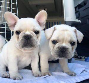 Bonnie – Cream French Bulldog litter, born March 2017 – French