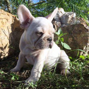 Cream French Bulldog Puppy For Sale – French Bulldogs Australia
