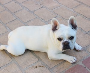 Bonnie – Cream French Bulldog litter, born March 2017 – French