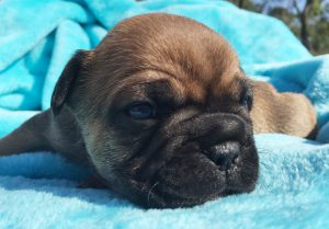 Masked Red Sable French Bulldog puppy – French Bulldogs Australia