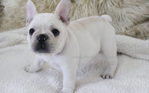 French Bulldogs Australia – French Bulldog Puppies For Sale in Australia
